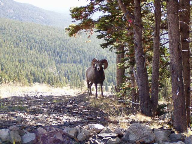 A picture of a ram at Lake Louise