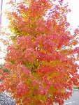 Up close and personal with a Maple tree in Wilkes-Barre, PA